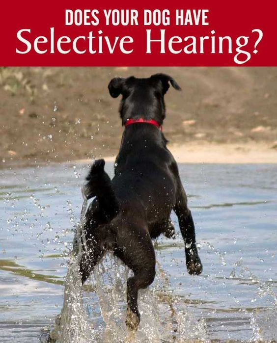 How To Get Ypur Dog Certified As A Hearing Dog