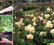 Cum si cand tundem corect trandafirii ca sa infloreasca mult