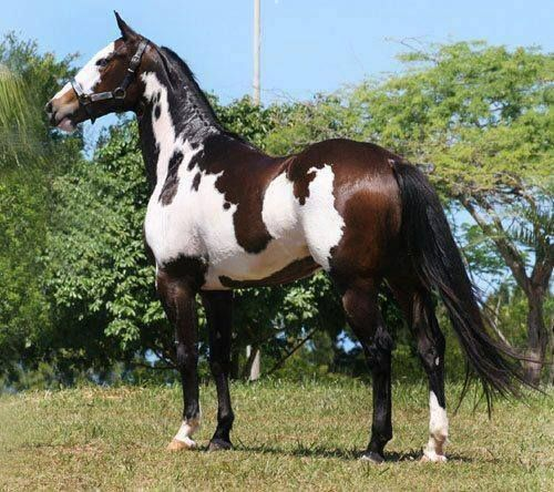 American Paint Horse. Wondering what the pattern is. Frame overo?