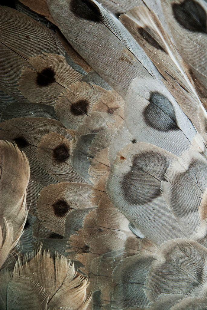 Cape Barren Goose Feathers