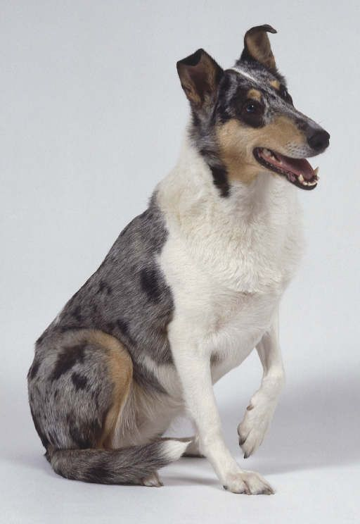 smooth collie LOVE!!!