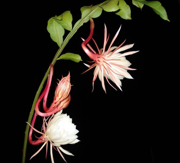 30 Best Images About Night Blooming Flowers On Pinterest