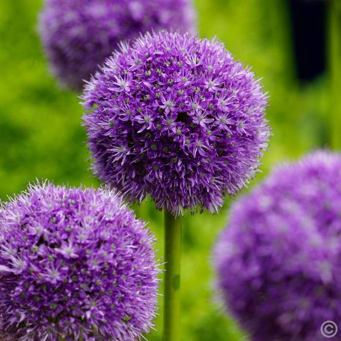 46 best Front border garden images on Pinterest Border garden - allium beetstecker aus metall