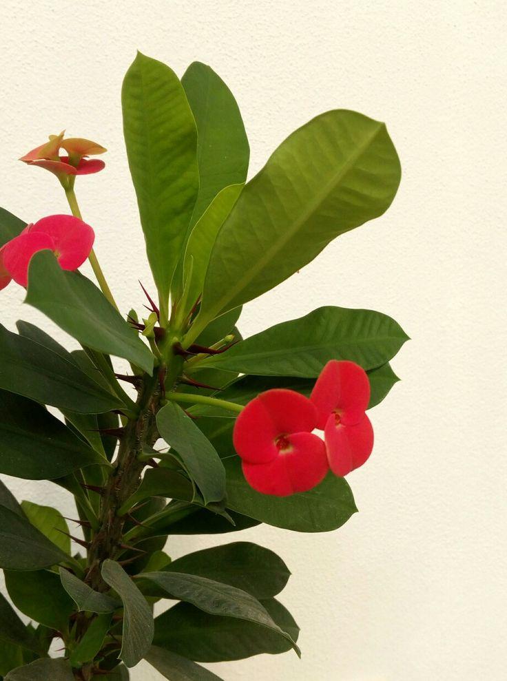 Euphorbia Mile