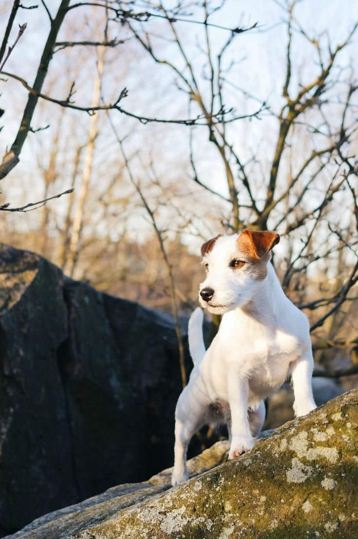 Beautiful Dog portrait, Cute Jack russell terrier in the woods. Dog photography outdoors.