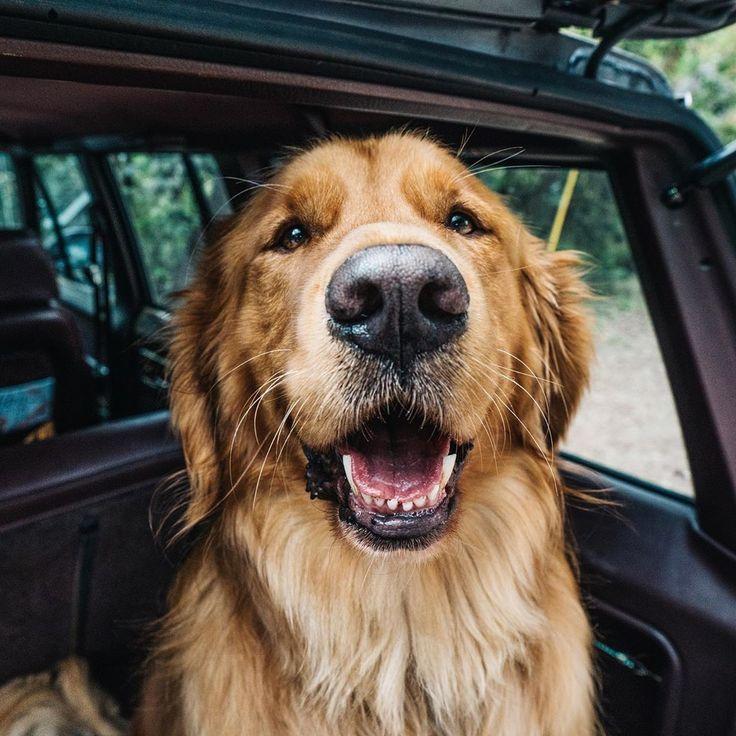 aspenthemoutainpup Golden Retriever Dog Dog Education