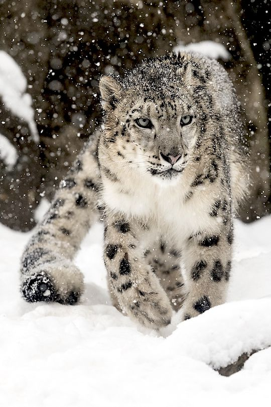 Léopard des neiges                                                                                                                                                      More