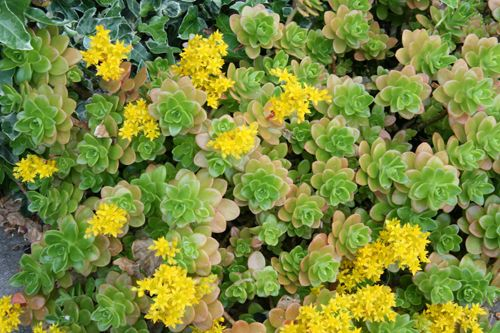 Sedum Kimnachii Info Care Practical Plant