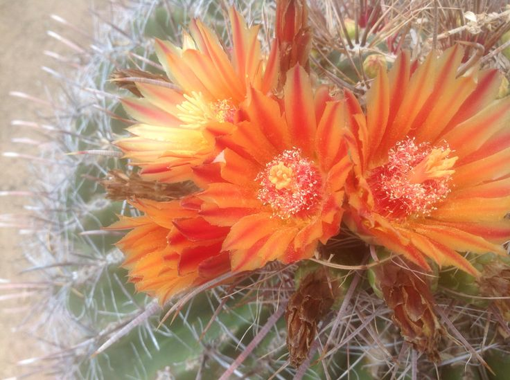 Fourre-tout Escamotée - Fleurs De Cactus Rouge Par Vida Vida 4Uzyg