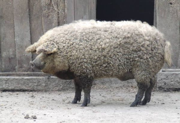 The Mangalitsa is a Sheep-Pig (Photo: Orycteropus)  The Mangalitsa is a rare breed of pig from Hungary. It's the result of a Nineteenth Century experiment in the Austro-Hungarian Empire to breed a pig with very high fat content in order to produce large amounts of lard.