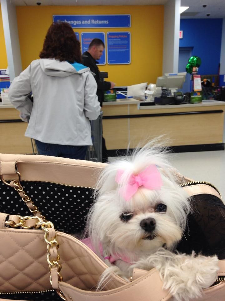 Even Maltese dogs like to go to Wal-Mart for the entertainment value!