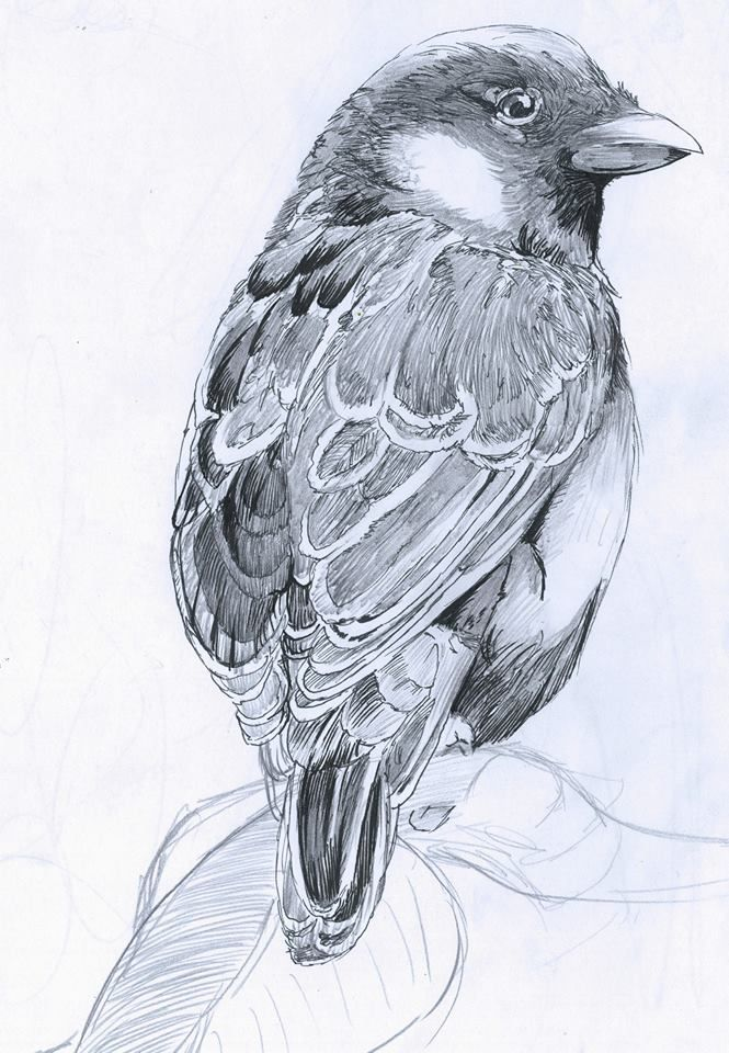 pencil and ink drawing of a small sparrow to see more go to my art page on Facebook 'Matt fords artwork'