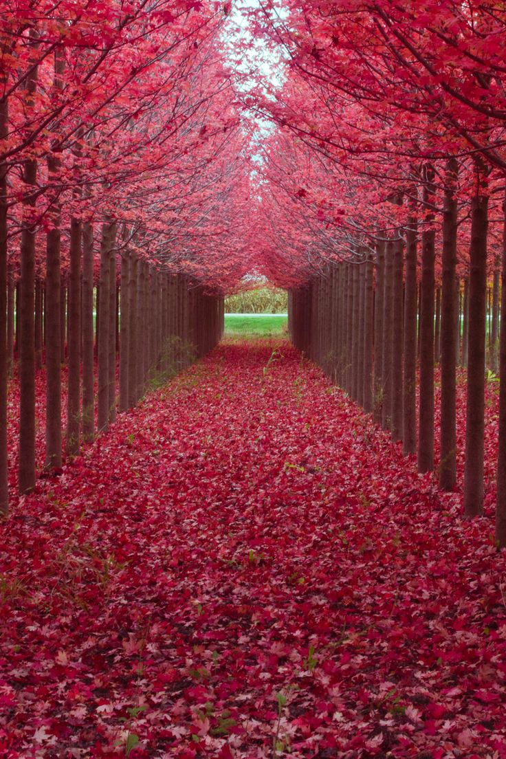 Incredible, the nearly perfect if not perfect planting and spacing of this tunnel of trees giving a beautiful pink carpet.