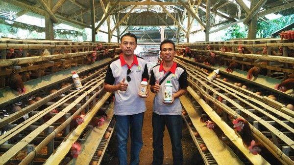 Hasil Aplikasi Produk Organik Pada Budidaya Ayam Petelur