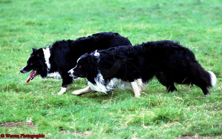 Border collie ~ here we come ready or not..