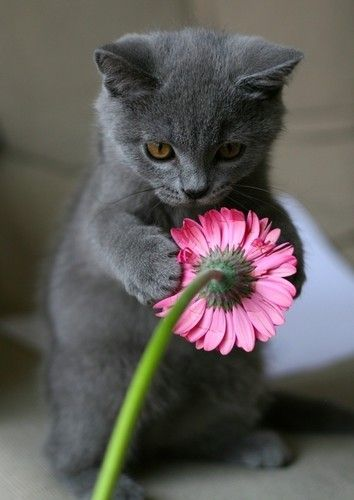 ❥ gray and pinkPink Flower, Gerber Daisies, Russian Blue, Kitty Cat, Sweets, Flower Power, Baby Animal, Grey, Kittens