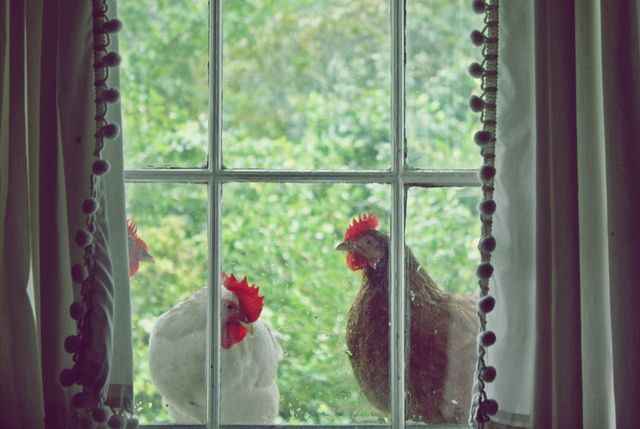 Chickens in the window.  My chickens get on the deck...just their way of calling me out to throw scratch for them. Who is the trained one really?