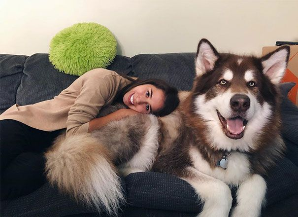 40 Fotos De Malamutes Do Alasca Sendo Os Maiores Fofos In 2020 Alaskan Malamute Malamute Husky Huge Dogs The gentle giant can't contain his joy, and he starts howling as if to talk to the newborn. alaskan malamute