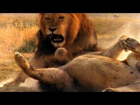 Blooded Animals fight between Lions vs Lions brutal highly lethal