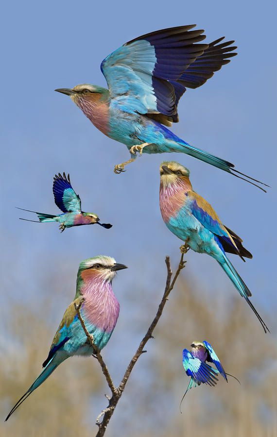 Lilac-breasted Roller - ©Basic Van Zyl (via FineArtAmerica)