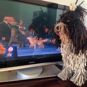 spanish water dog rastadogs - Buscar con Google