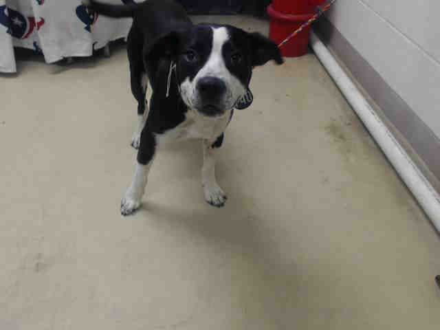 This DOG - ID#A466285 - URGENT - Harris County Animal Shelter in Houston, Texas - ADOPT OR FOSTER - Male Boxer - at the shelter since Aug 18, 2016.