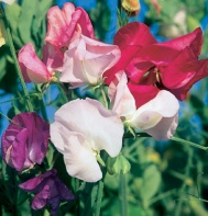 Sweet Pea from Johnny's Seed $6.75/oz. (300 seeds)