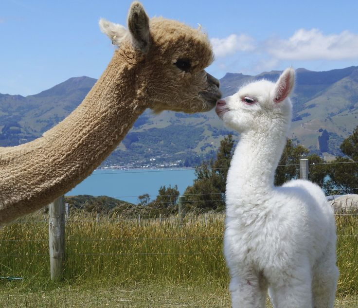 Nova and her day old cria (baby) called Piana.