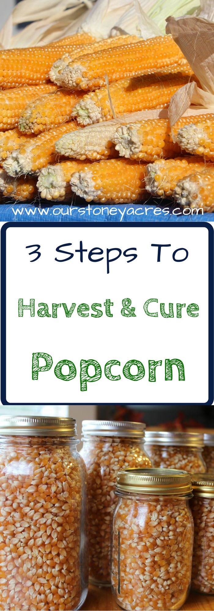 Curing Popcorn. Harvesting and curing popcorn is a simple process that should be done in mid fall, after your first frost but before snow or rain settle in.