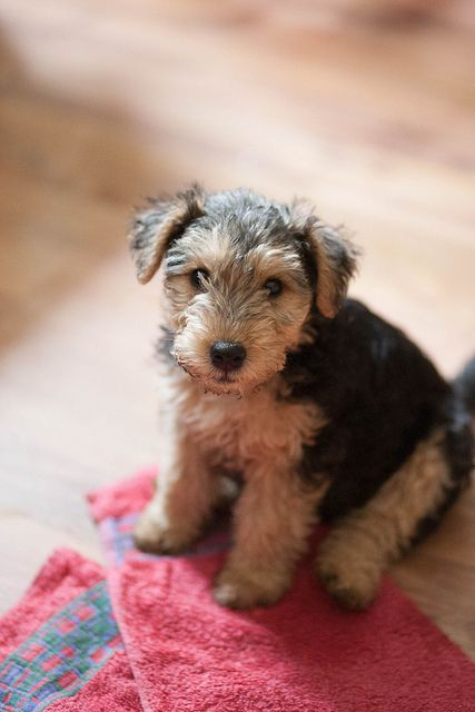 This little Airedale will grow up to be: Outgoing - Alert - Friendly - Confident -Courageous & Intelligent.