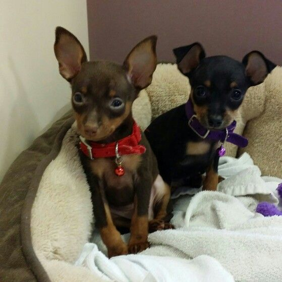 17 Best Images About Pins For Pets On Pinterest: Best 25+ Min Pin Puppies Ideas On Pinterest