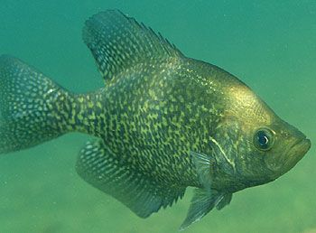 crappie, - one of my favorite fish - learn how to catch crappies with some cool crappie lures, tactics, tricks and rigs - http://giftmetoday.com/index.php?c=5278&n=3410851&k=90009&t=Sub&s=sr&p=1