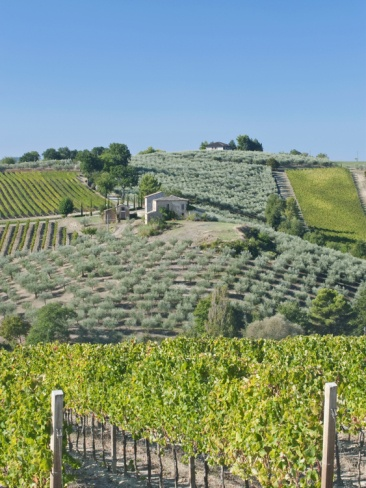 Vineyards and Olive Groves, Montefalco, Italy