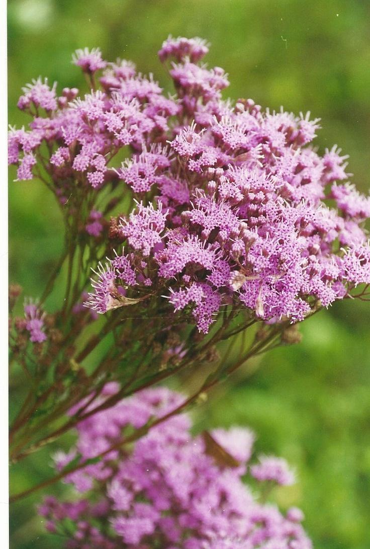 Wildflower Ironweed attract butterflies, moths, hummingbirds and birds