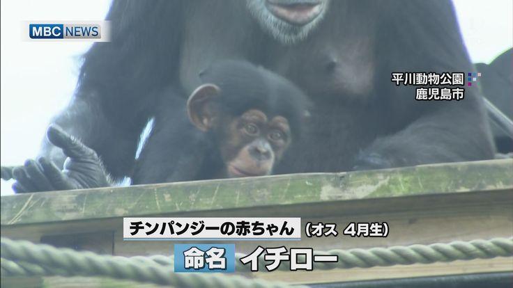 チンパンジー赤ちゃん 命名「イチロー」 - MBC 南日本放送 [07/02 18:17] 鹿児島市の平川動物公園で、4月に生まれたチンパンジーのオスの赤ちゃんの名前が「イチロー」に決まりました。公募で集まった2492の名前のうち、多かったものの中から選ばれたもので、2日は命名者を代表して鹿児島市の幼稚園生・白石壮真くん(5)に「イチロー」の写真パネルなどが贈られました。「イチロー」という名前には一番元気で、一番の人気者になってほしいとの願いが込められているということです。 #イチロー #チンパンジー #命名 #MBC
