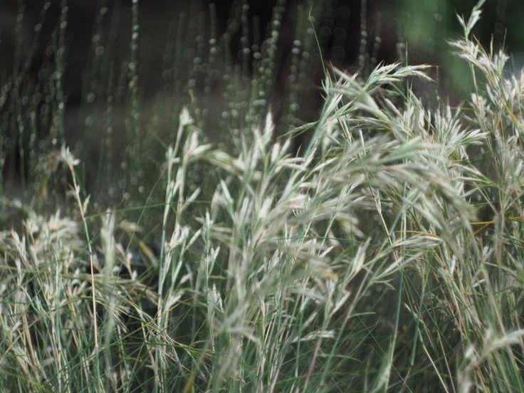 Austrodanthonia Caespitosa 'Wallaby Grass'