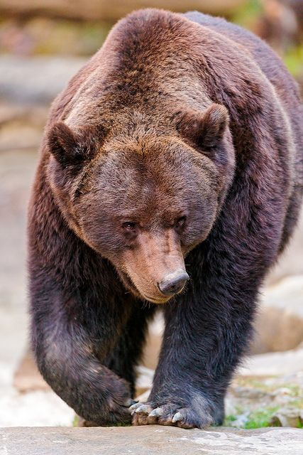 Grizzly Bear (by Tambako the Jaguar)
