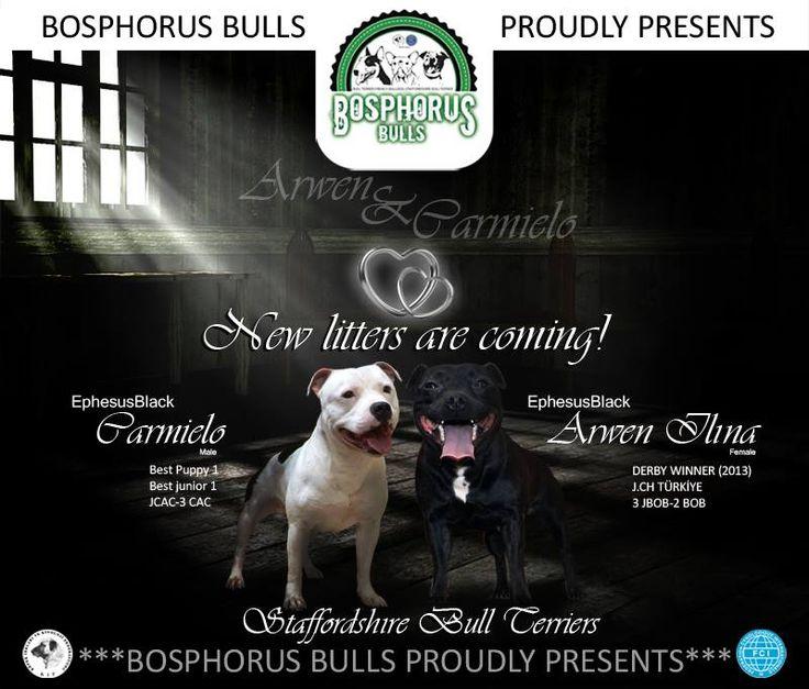 JCH.Arwen Ilına Ephesus Black  LİTTER COMİNG SOON.... Contact: Facebook / Bosphorus Bulls