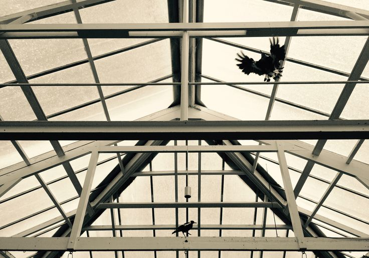 Birds in a conservatory, Hobart.