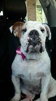 Bulldog dog for Adoption in Newcastle, ON. ADN-706201 on PuppyFinder.com Gender: Female. Age: Adult