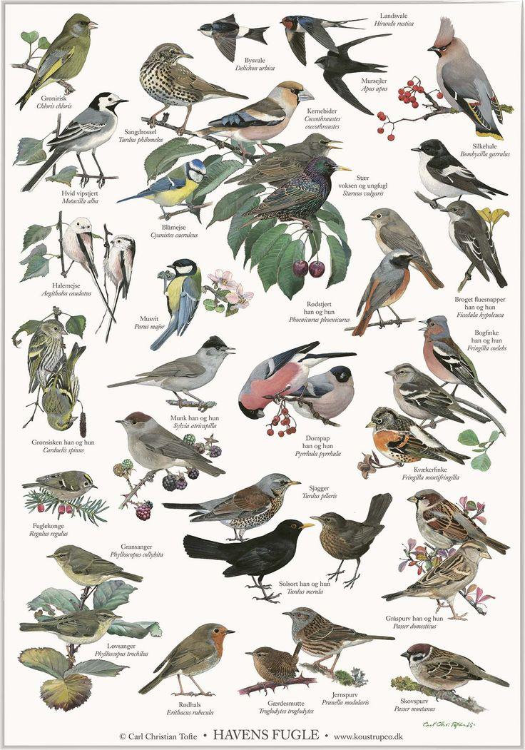 Det er underholdende at holde øje med fuglene ved foderbrættet og i haven. Her har Carl Christian Tofte (ornitolog og kunstner) illustreret 29 fugle du kan se i din have. Læs mere om fuglene i bogen Havens fugle også af Carl Christian Tofte. Måler 42×59,4 cm