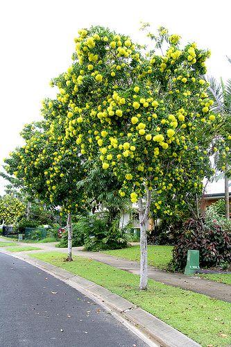 Golden Penda (Xanthostemon chrysanthus) - Google Search