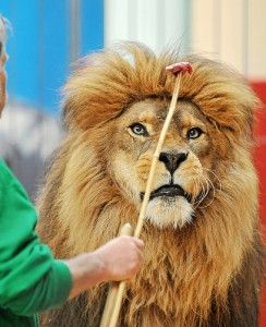 Animal Careers - Cat Behavior Training: Behavior Training, Lion,  King Of Beasts,  Panthera Leo, Creatures Comforter, Cat Behavior, Animal Career, Training Career, Animalblog M