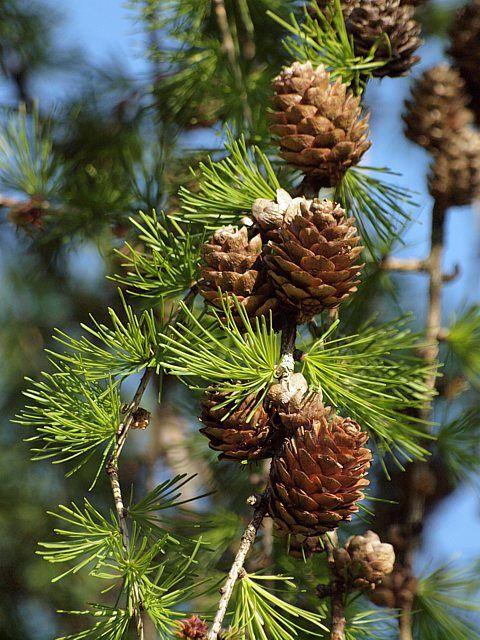 Christmas Tree Seeds