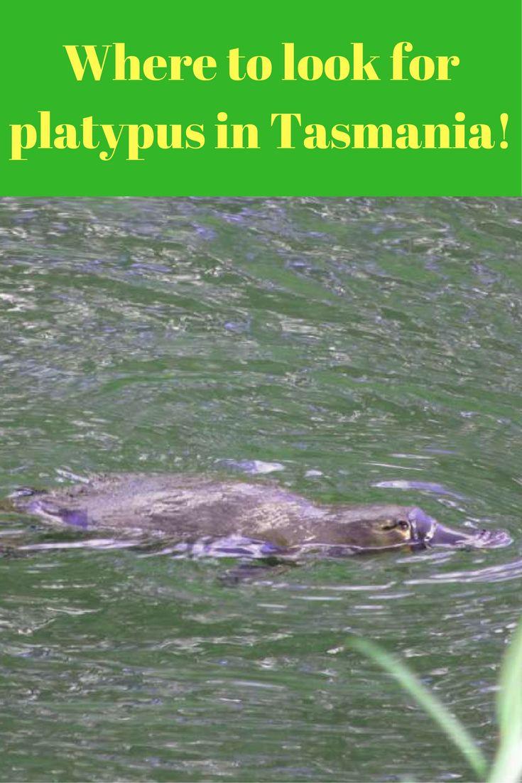 Where to find platypus in Tasmania.