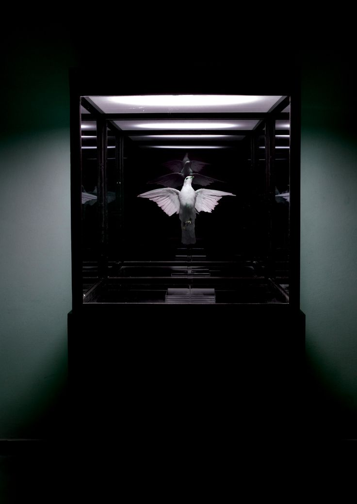 Conatus, stuffed dove, two way mirrors, glass, led184-86-68