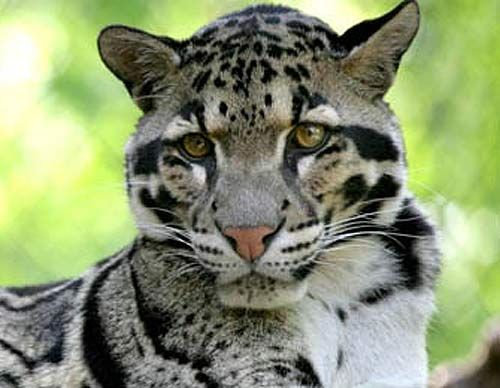 Clouded Leopard - Rare Asian Cat with Cloud Spots..What a beautiful animal!