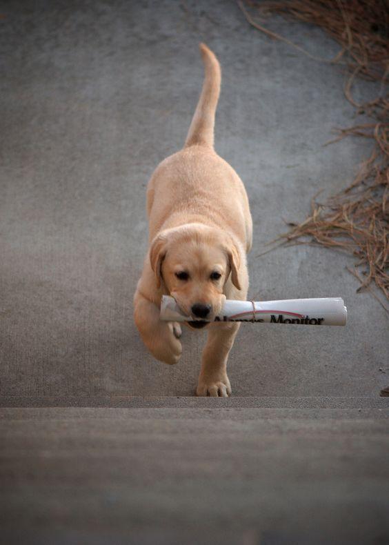 Labrador Retriever @ Work