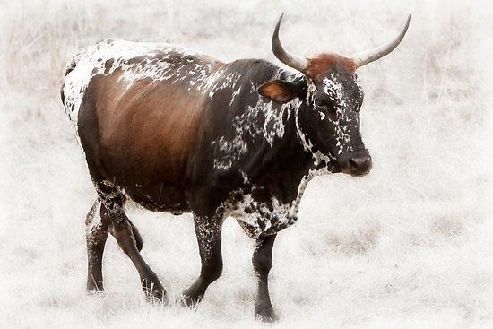 Nguni cow artwork by Peter Wickham