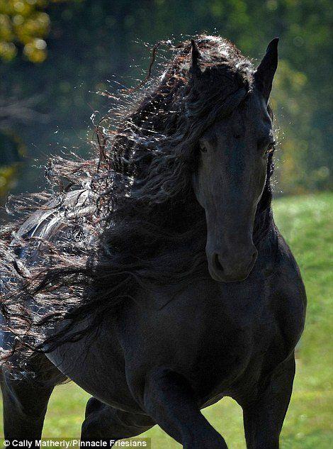 Les chevaux font partie du top 5 des animaux, les plus beaux du monde.À la fois imposants etcharismatiques, leschevaux ont cette pointe sauvage qui charme tout le monde.Il est impossible de ne pas être enchanté par leur magnifique fierté.Majestueux, Frédéric Le Grand est un merveilleux exemple deFrison(une des plus anciennes races de chevaux dans le monde)qui vient des États-Unis et a été élu